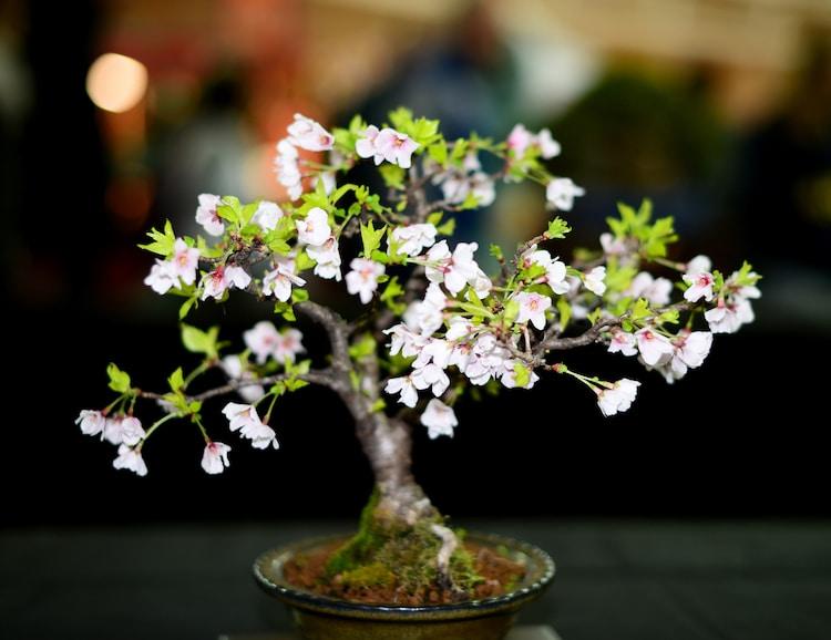 Japanese Cherry Blossom Bonsai Tree Kit