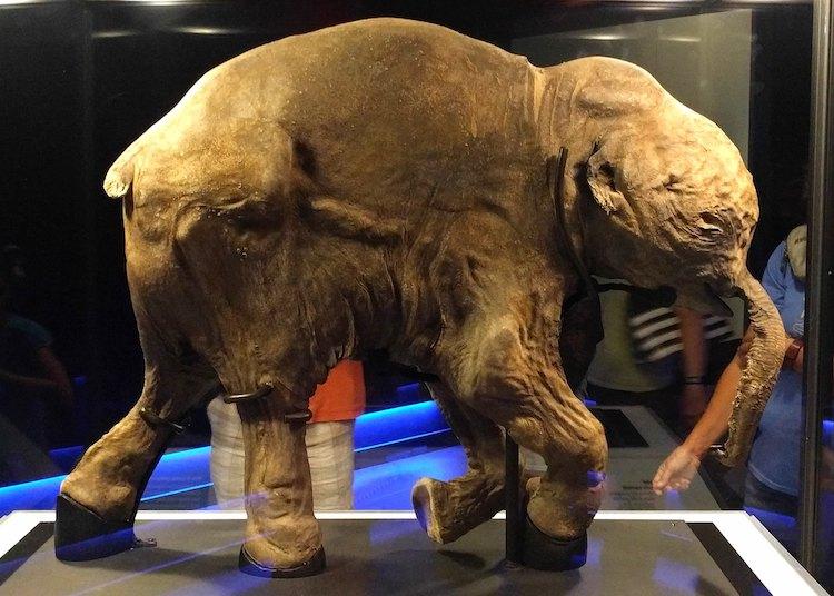 Lyuba the Woolly Mammoth