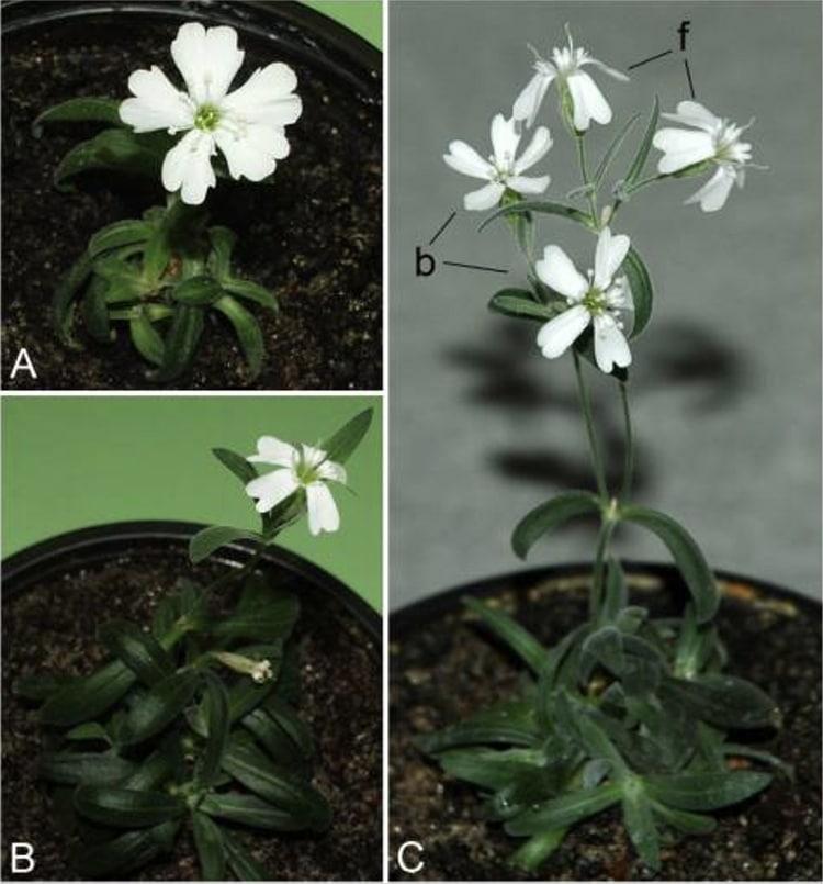 Flowering plants of Silene stenophylla