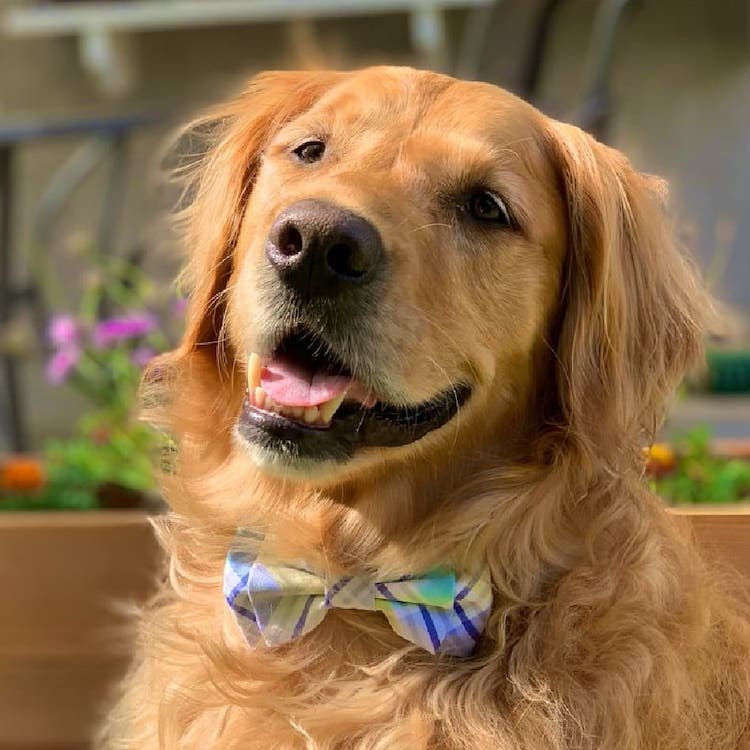 Dog Wearing a Bow Tie
