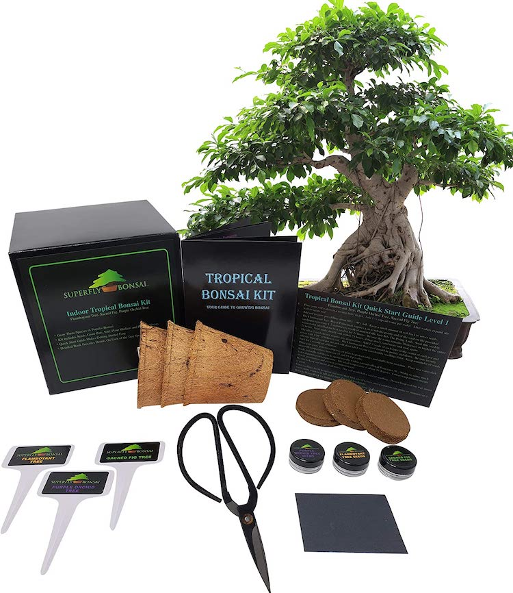 Tropical Bonsai Tree Kit