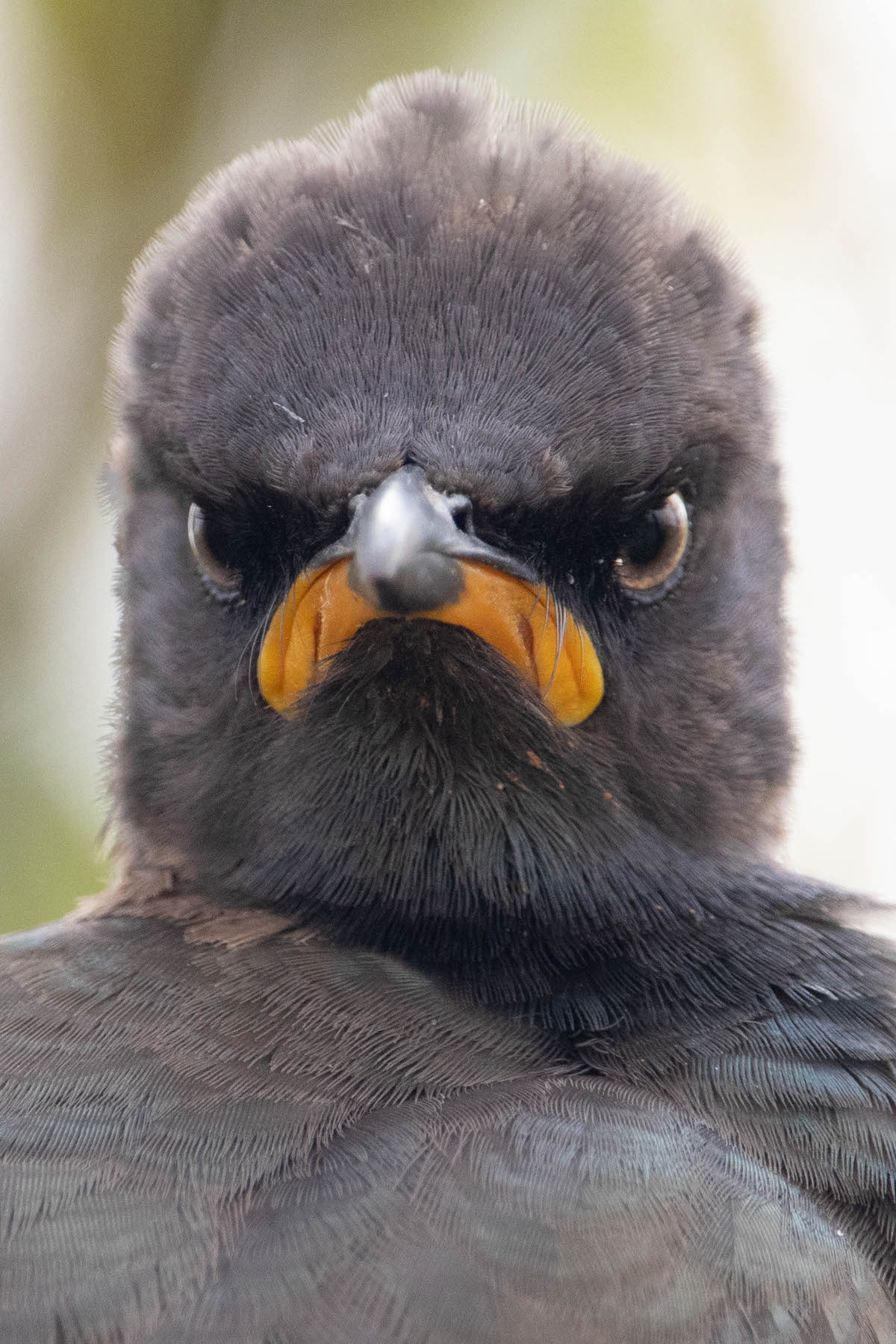 Angry Looking Pied Starling