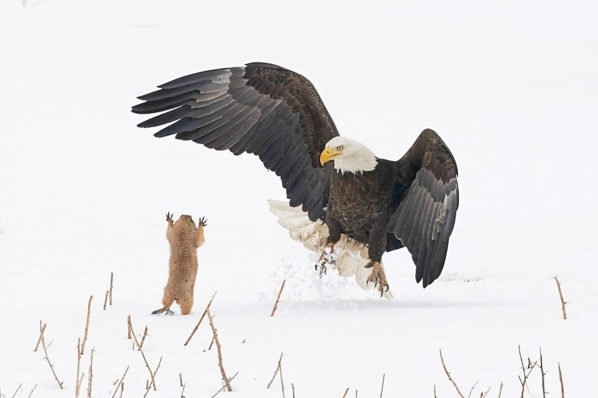 Prairie Dog Suprising a Bald Eagle