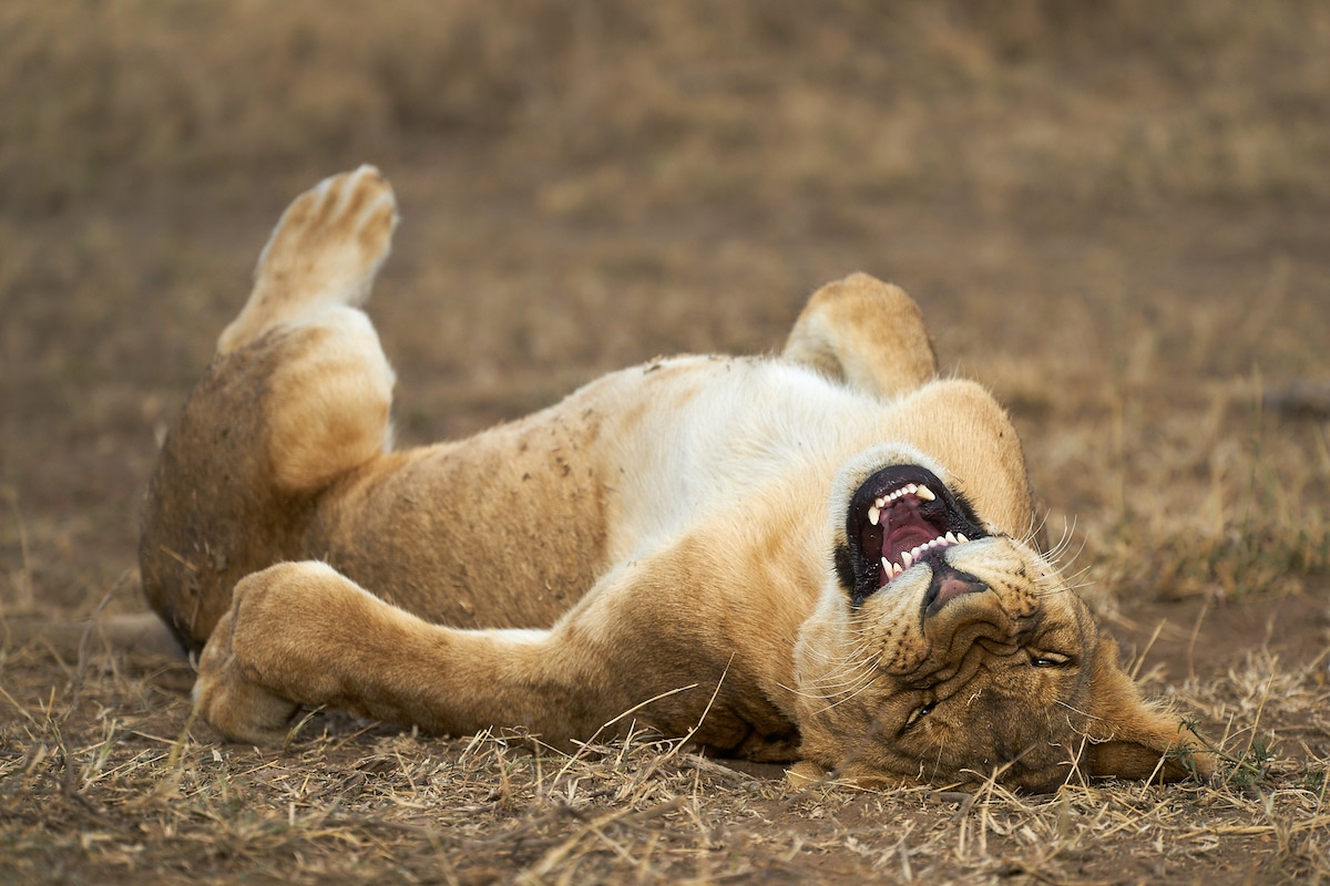 Young lion in the Serengeti National Park, Tanzania looking like they're laughing