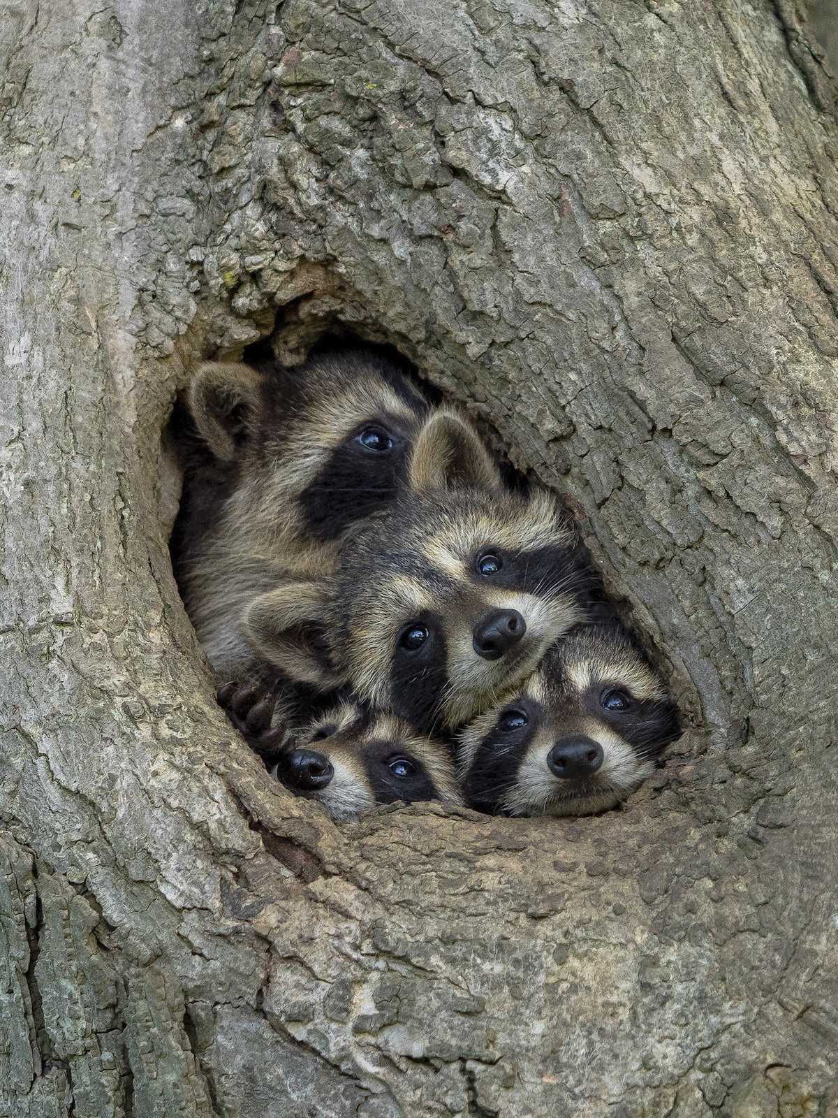 Raccoon Family Sticking Their Heads Out of Hole in a Tree
