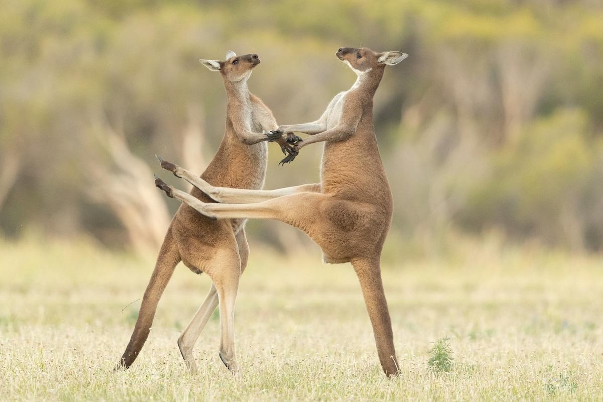 Two Western Grey Kangaroos Fighting