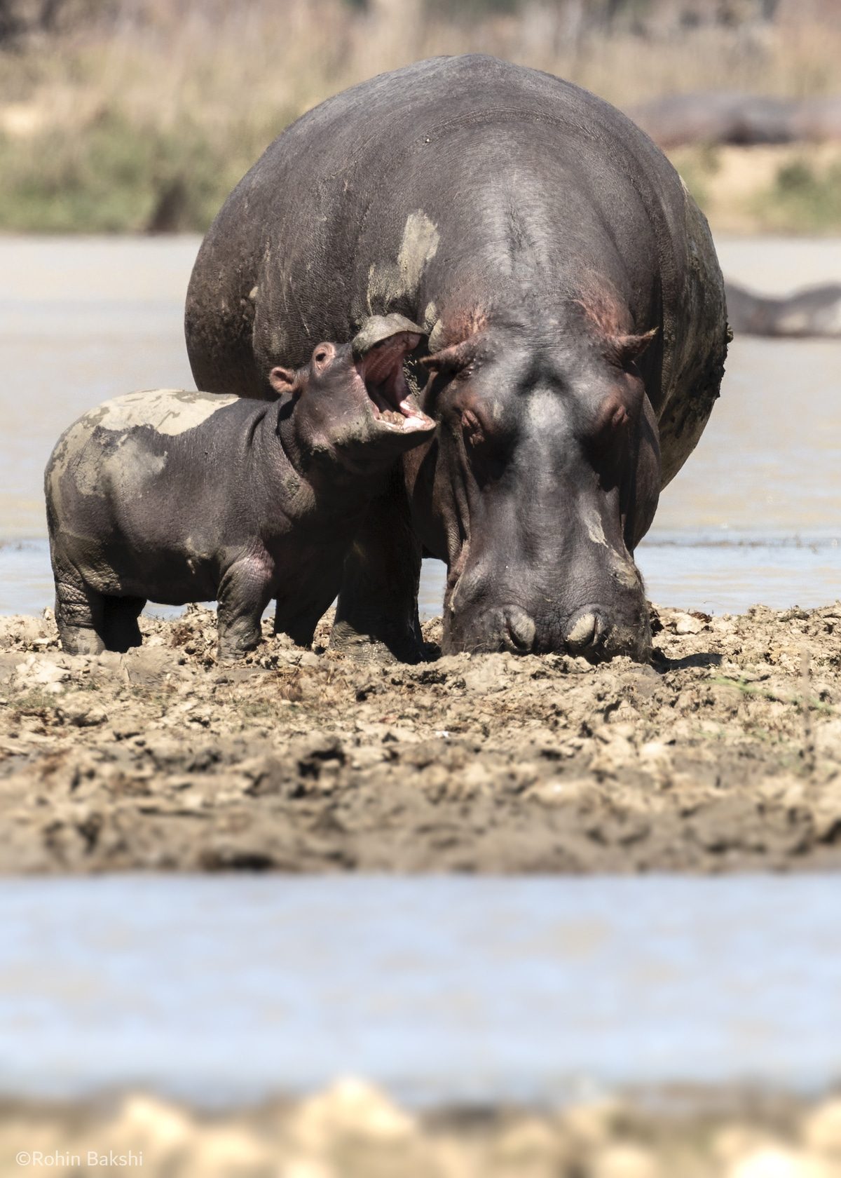 Baby and Mother Hippo in Malawi