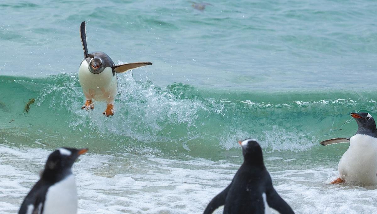 Penguins Surfing Waves in the Falklands