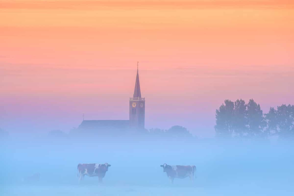 Cows in the Fog in the Netherlands