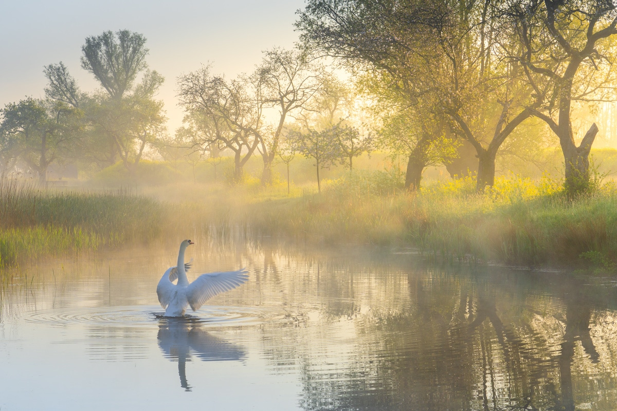 Swan Flapping Its Wings on a Pond
