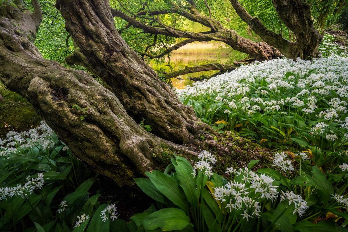 Forest in the Netherlands with White Garlic