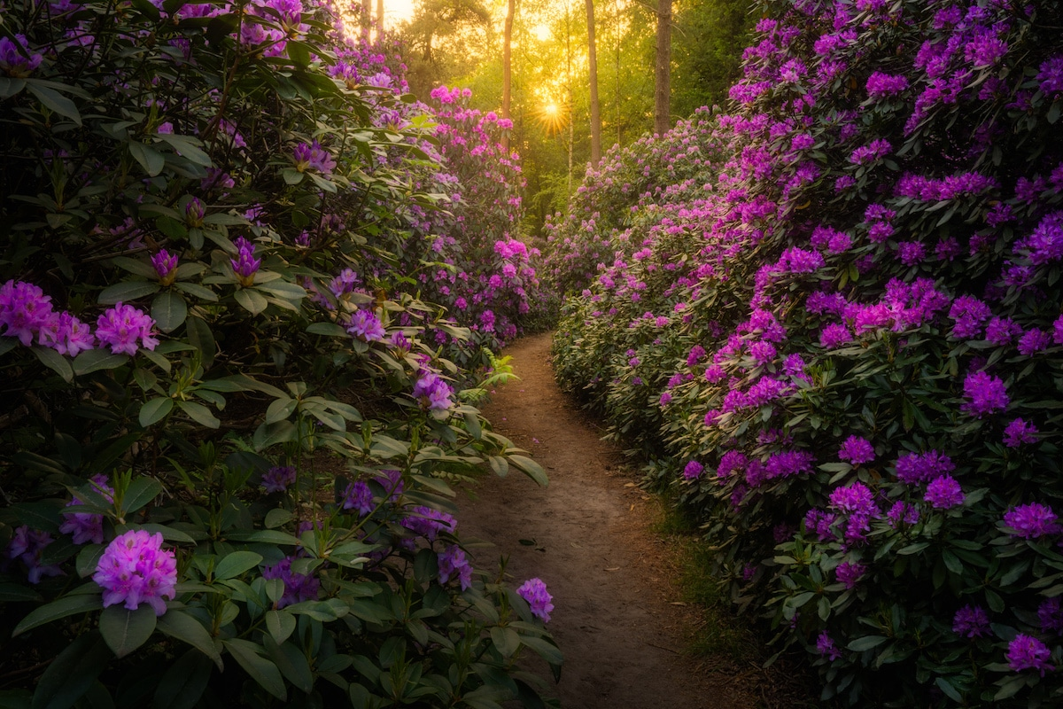 Rhododendron Bush in Holland