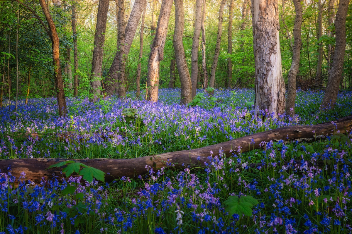 Wild hyacinth flowers in the forest