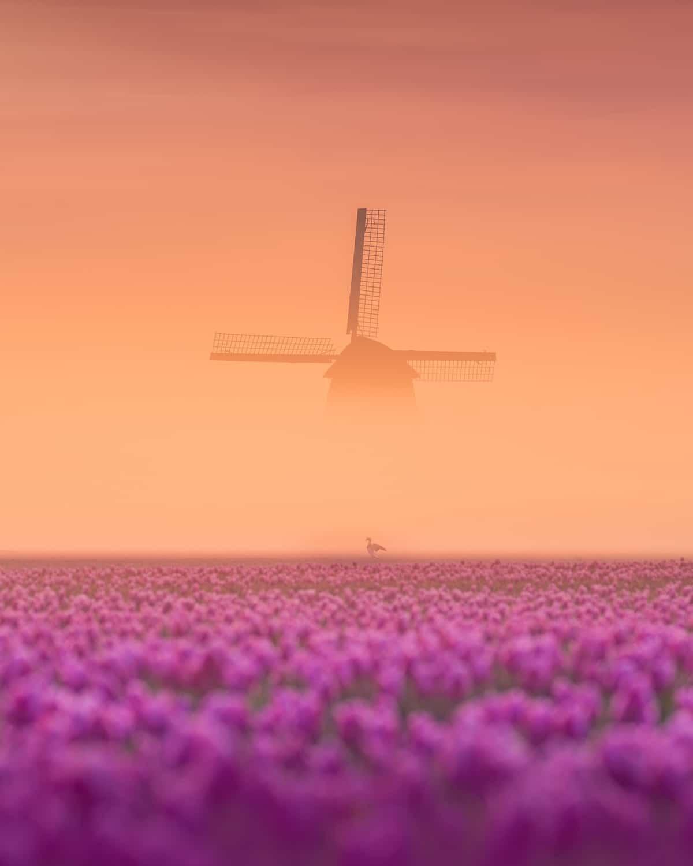 Windmill in the Fog by a Tulip Field