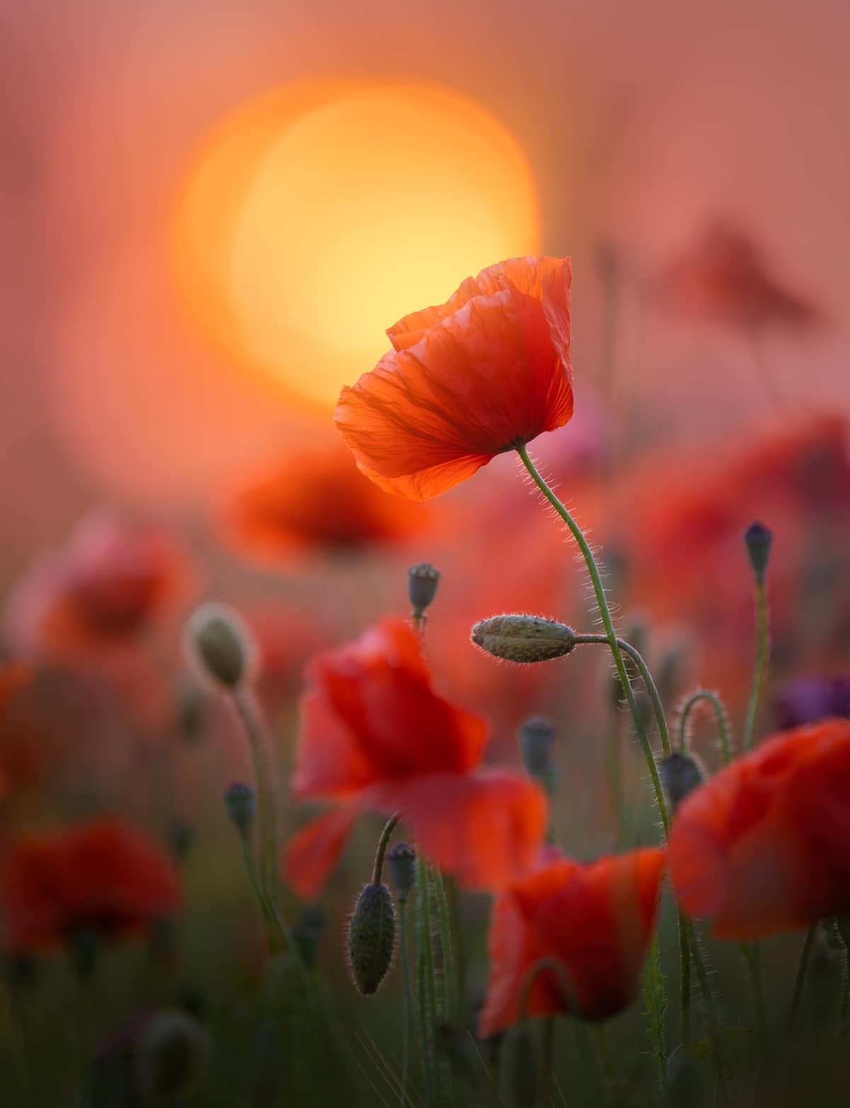 Poppy in Bloom in the Netherlands