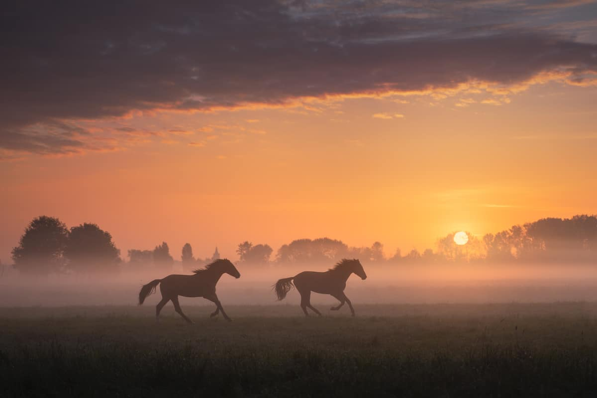 Horses Running on a Field in the Netherlands