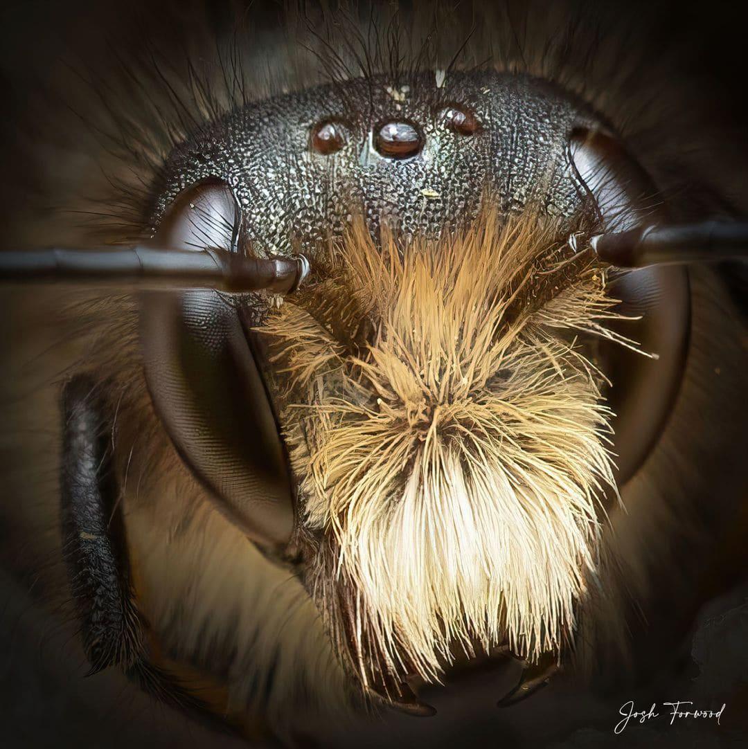 Bee with Furry Head