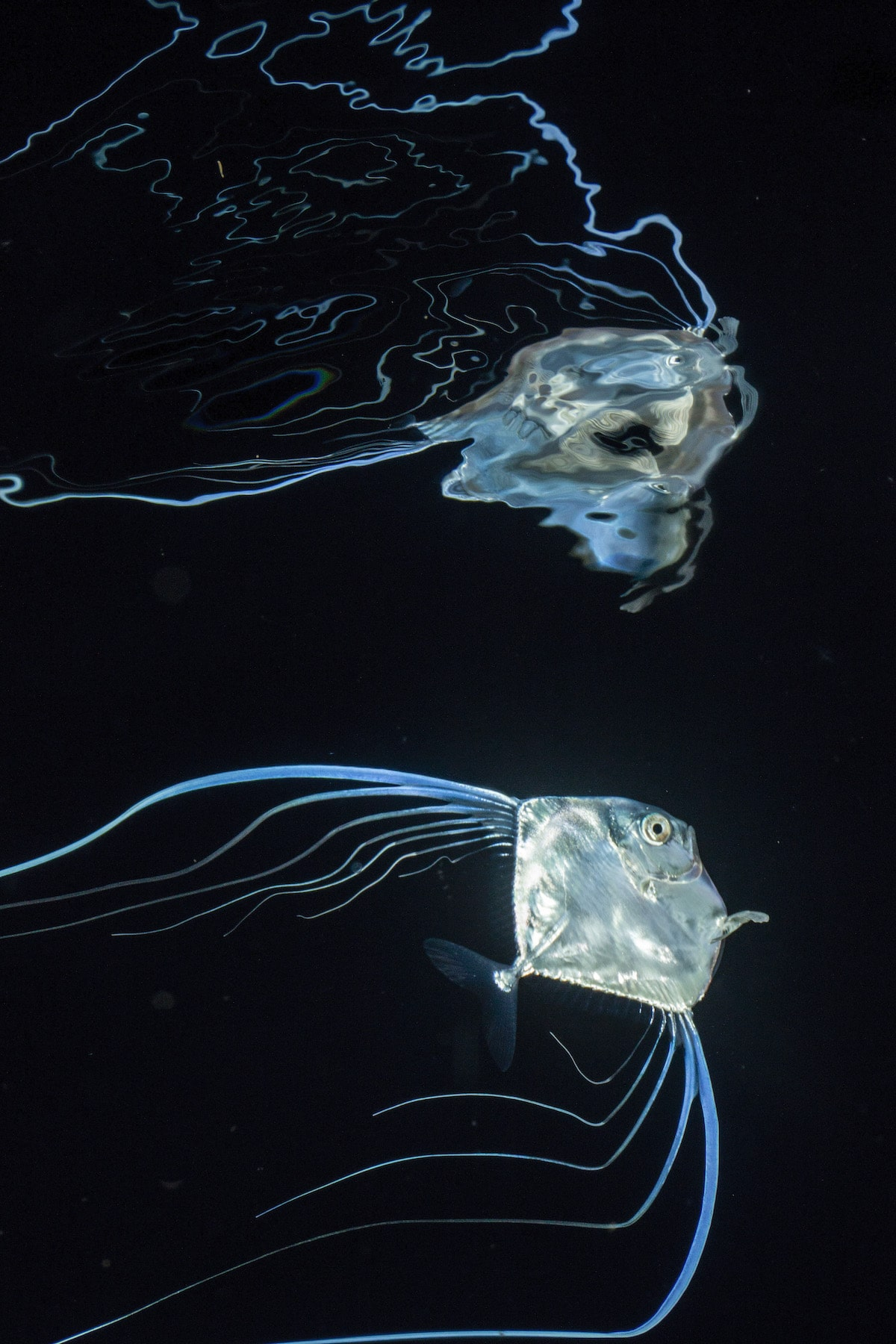 Alectis ciliaris blackwater photo by Jeff Milisen