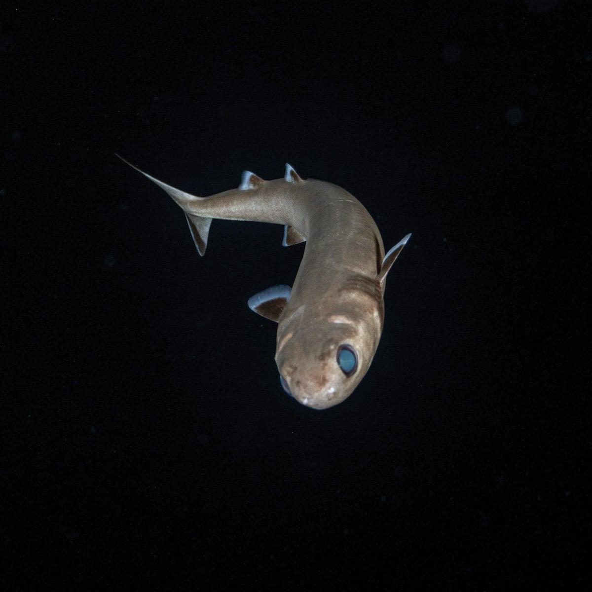 Cookiecutter Shark in Blackwater by Jeff Milisen