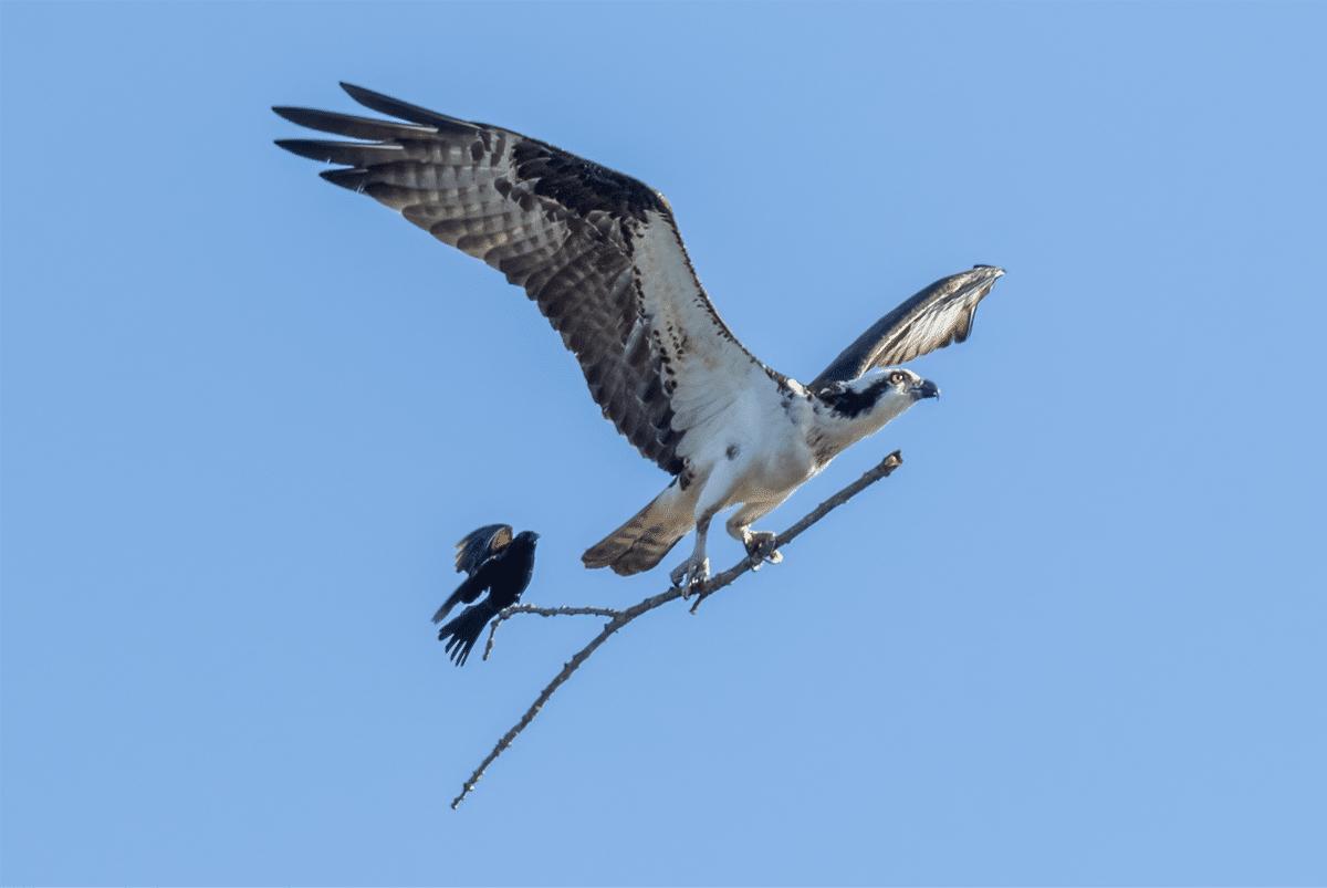 Osprey and Redwinged Blackbird by Jocelyn Anderson