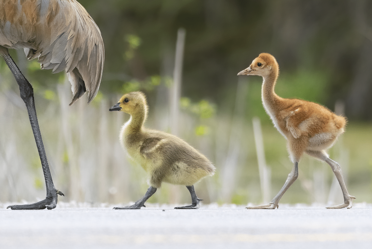 Cranes and Goose Goslings by Joselyn Anderson Bird Photographer