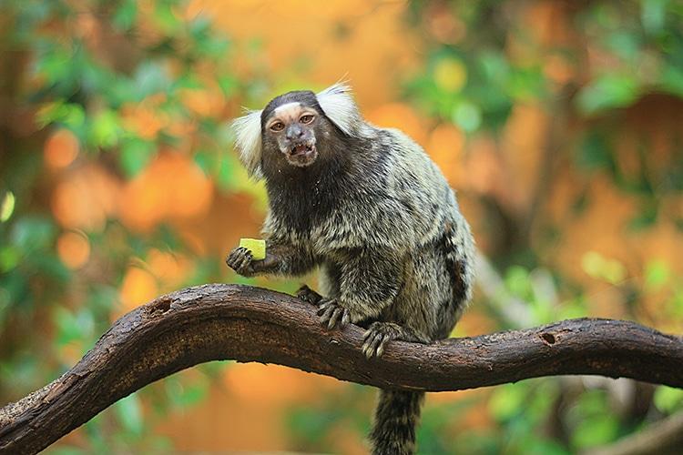 Los titíes son mascotas exóticas y ya no se permitirán primates como mascotas
