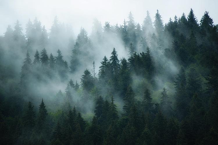 Pine Tree Forest Reforestation