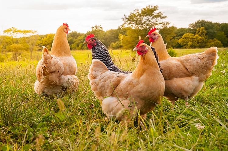Pollos en un campo, bienestar animal en granjas