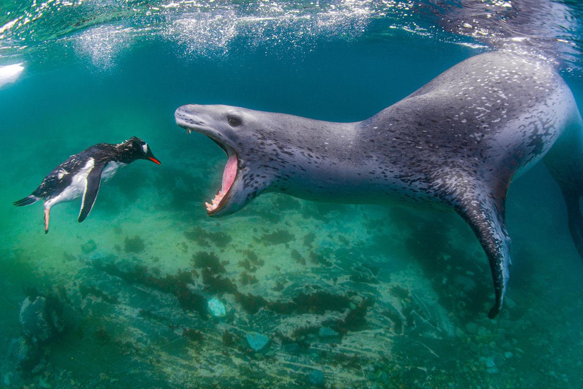 Leopard Seal About to Eat a Penguin