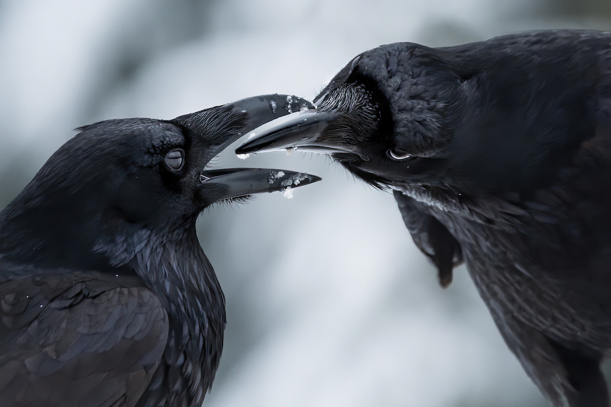 Couple of Ravens Doing Reciprocal Grooming