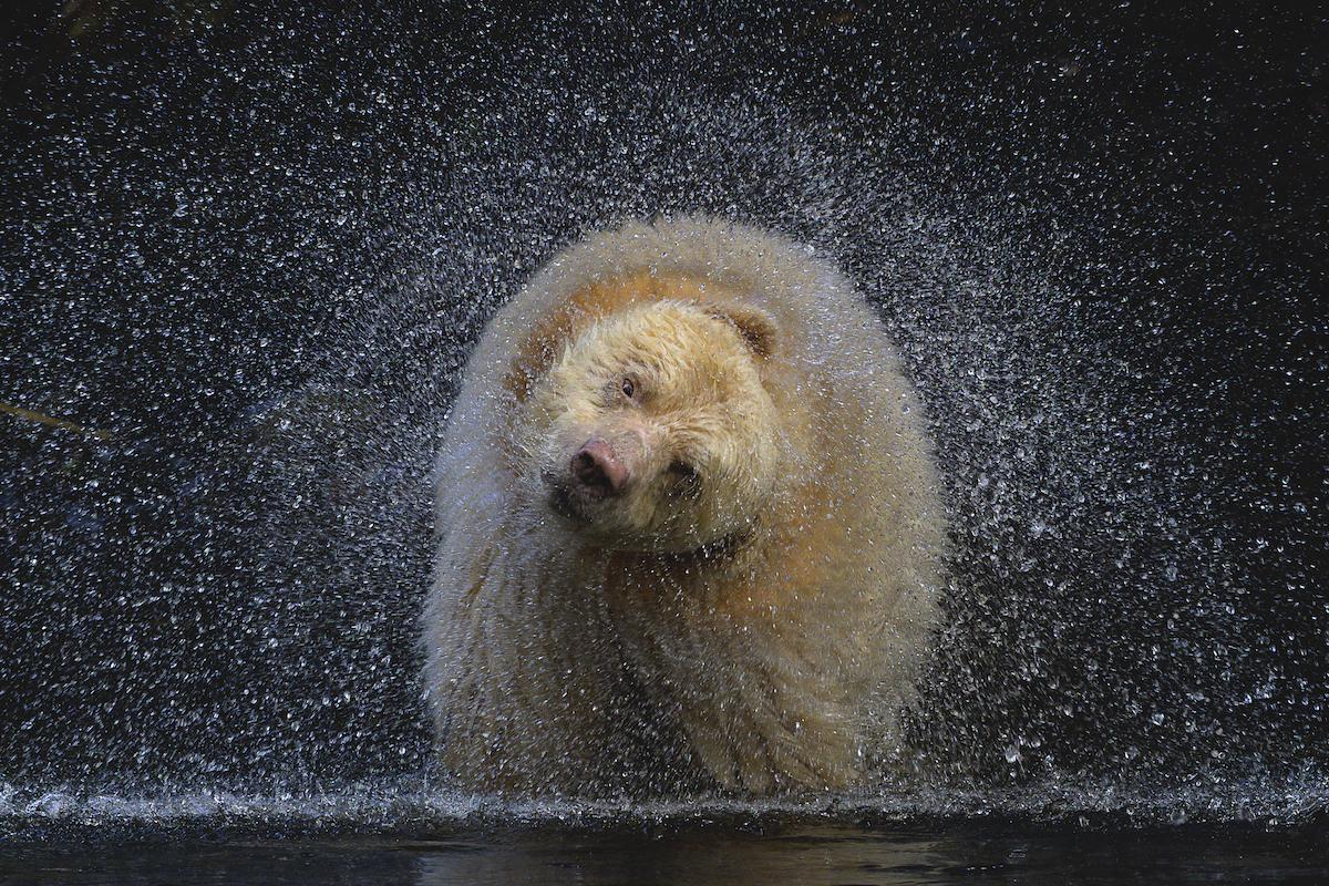 Kermode Bear Shaking Off Water