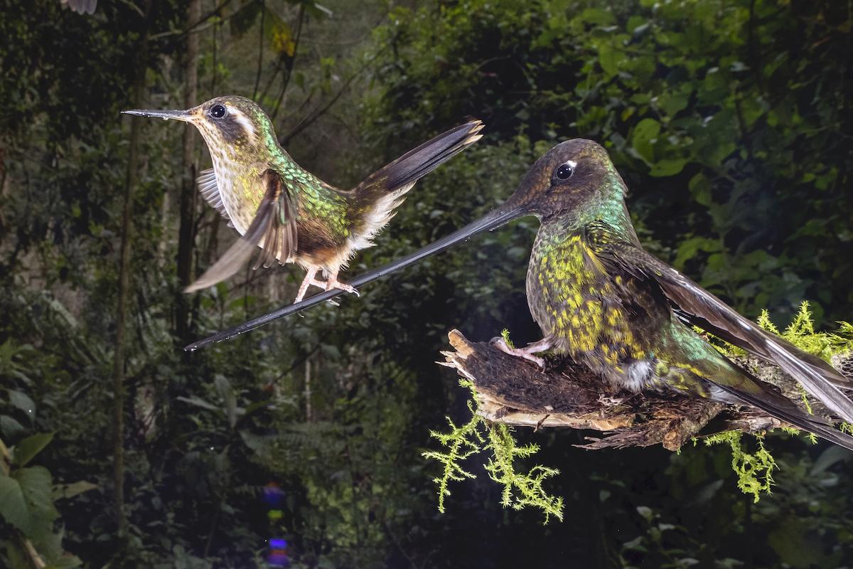 Sword-billed hummingbird in Ecuador