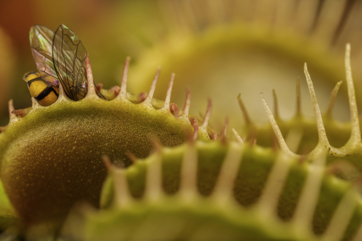 Venus Flytrap Eating a Fly