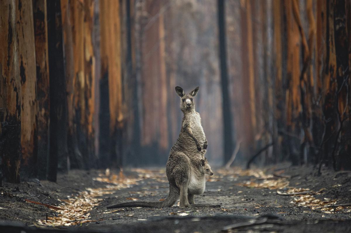 Kangaroo Escaping from Australian Bushfires