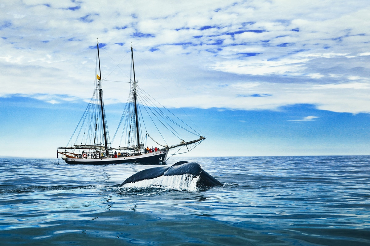 Humpack whale fluke in front of the hybrid-electric sailboat Opal © North Sailing