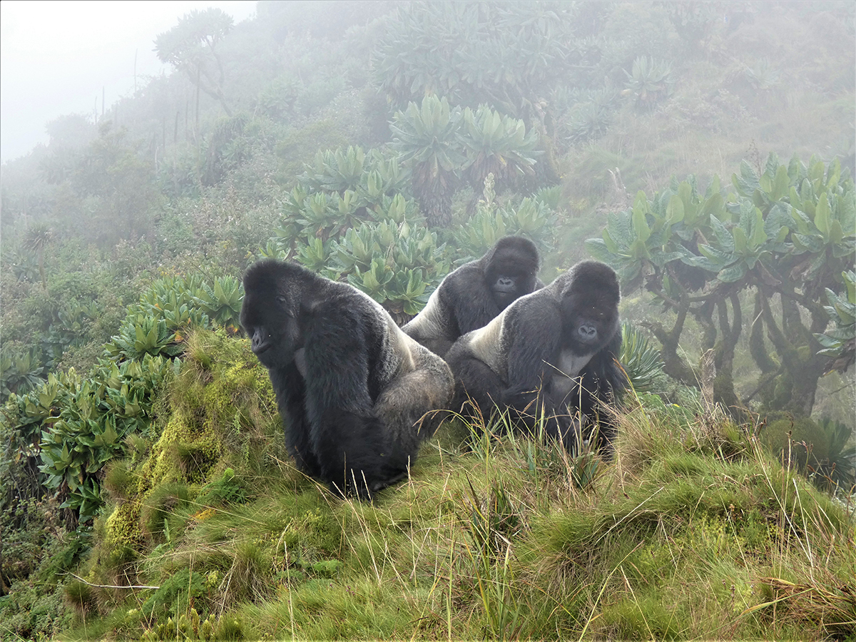 Three Silverback Gorilla Brothers Live Together With Strong Bond