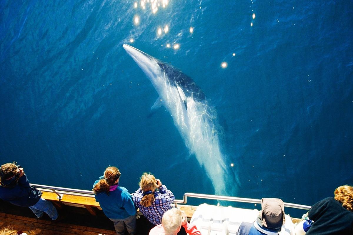 Minke Whale sunbathing © North Sailing