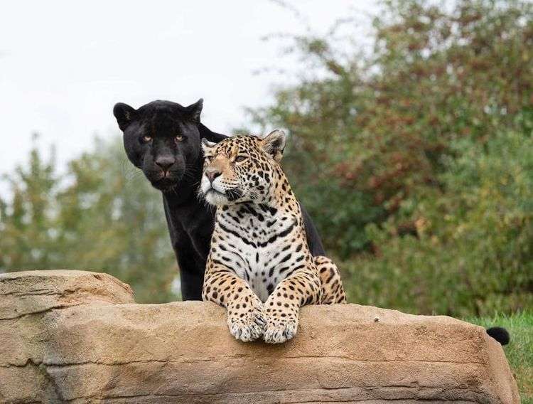 Jaguars at The Big Cat Sanctuary