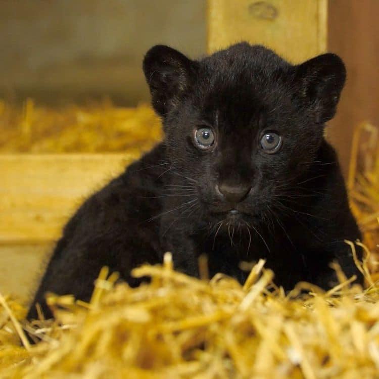 Rare Black Jaguar Cub The Big Cat Sanctuary