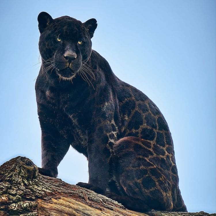 Black Jaguar The Big Cat Sanctuary