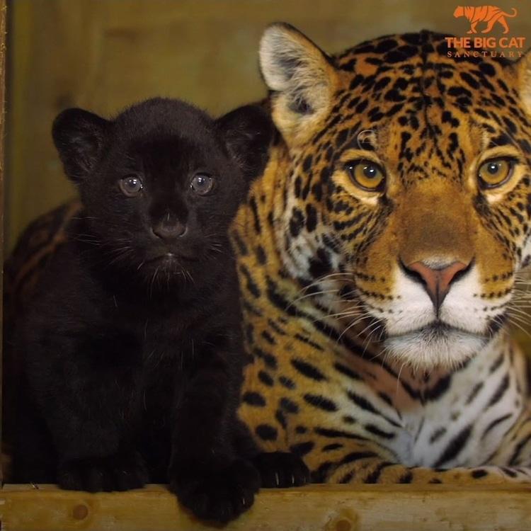Rare Black Jaguar Cub and Mom The Big Cat Sanctuary