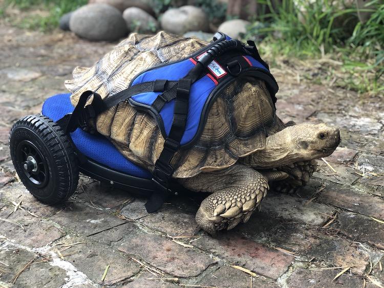 Disabled Tortoise Custom Wheelchair