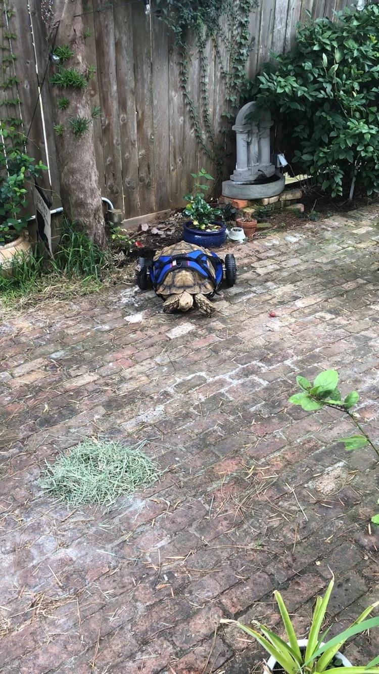 Fauteuil roulant personnalisé tortue handicapée