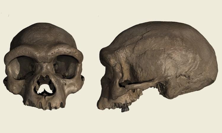Dragon Man Homo Longi Skull