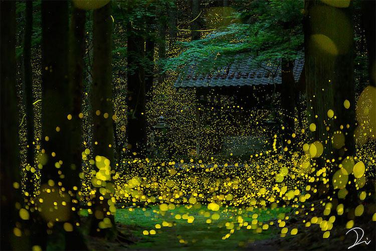 luciérnagas de noche en temporada hotaru de japón