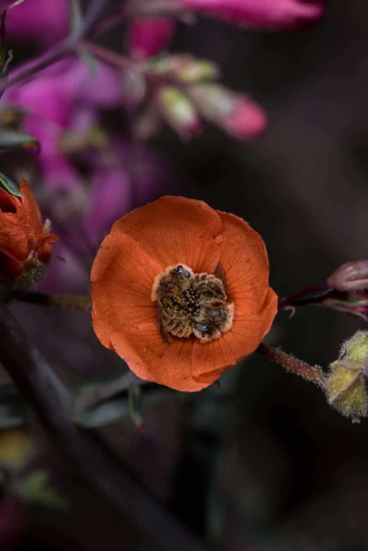 Bees Sleeping in a Globe Mallow Flower