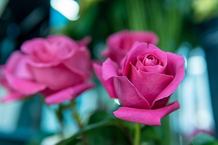 Photograph of a Pink Rose