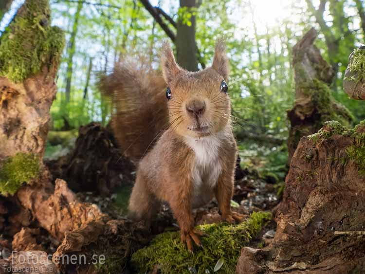 Fotos de ardillas rojas por Johnny Kääpä