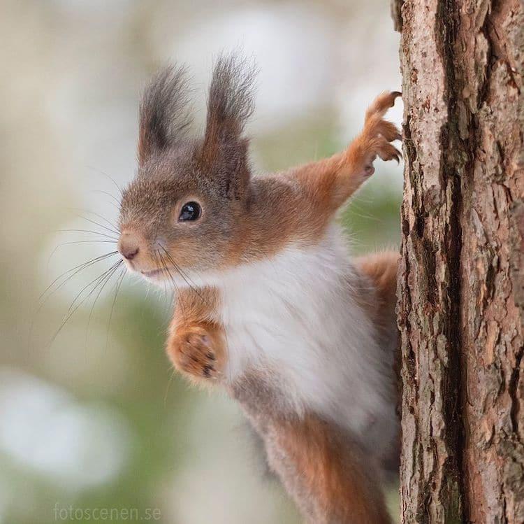 Fotos de ardillas por Johnny Kääpä