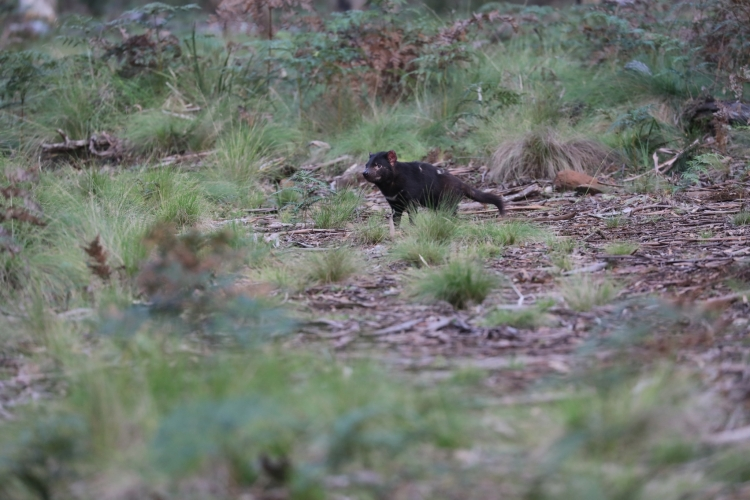 Tasmanian Devil Joeys Born in Australia